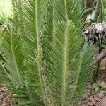 encephalartos, ghellinckii