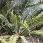 encephalartos, bunia