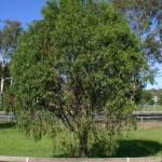 Pittosporum phillyraeoides tree2