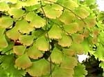 Adiantum tenerum Gloriosum Roseum