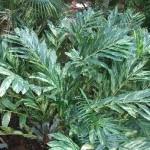 Alpinia zerumbet foliage