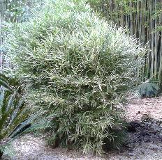 Bambusa malay drawf