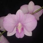 Dendrobium Airy Big Pink Stripe