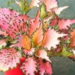 Fittonia albivenis