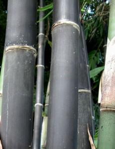 Gigantochloa atroviolacea Java Black bamboo