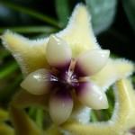 Hoya coriacea flower