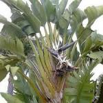 Strelizia nicholii tree