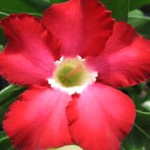 Adenium obesum Red
