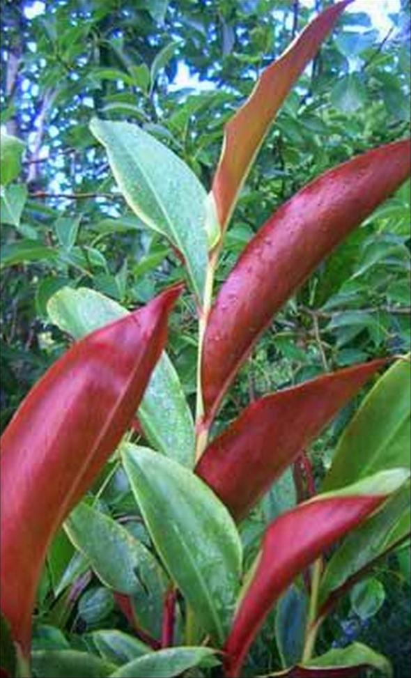 Alpinia caerulea red