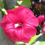 Ipomoea horsefalliae