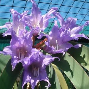 Worsleya procera flowers