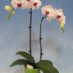 Phalaenopsis Taisuco Noble x Mt Lip