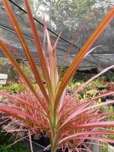 Dracaena marginata colorata