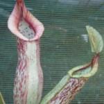 Nepenthes edwardsiana x burbidgea