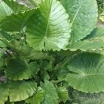 alocasia gagaeana