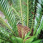 Encephalartos msinganus
