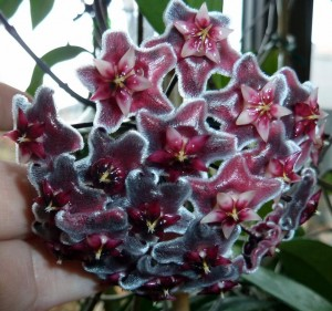 Hoya pubicalyx hawaiian royal purple