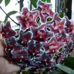 Hoya pubicalyx hawaiian royal purple