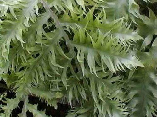 Phlebodium aureum mandianum