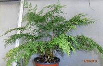 Sphenomeris chusana