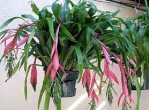 Bilbergia nutans