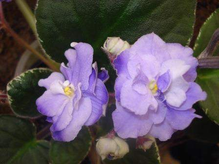 African Violet Pac Sui
