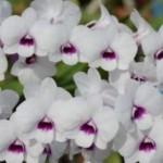 Dendrobium Emma McKinney Moller 'Forever'