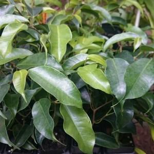 Ficus benjamina 'Midnight Beauty'