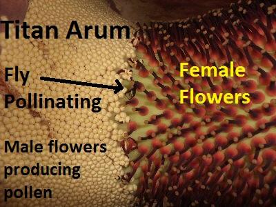 Amorphophallus titanum pollination
