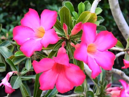 Adenium obesum Pretty Pink