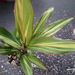 Cordyline fruticosa 'Kiwi'
