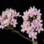Epidendrum Wedding Valley 'Sakura'