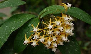 Hoya multifora Flecked Leaf