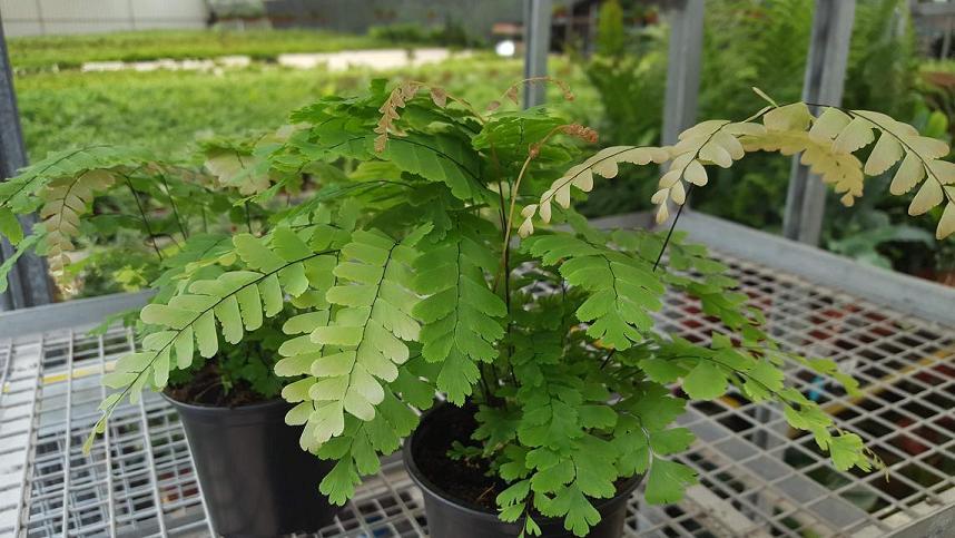 Adiantam polyphyllum
