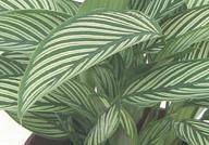 Calathea elliptica 'Vittata'