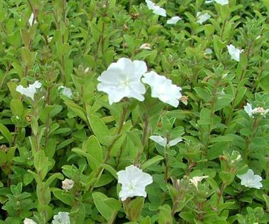 evolvulus pilosus white