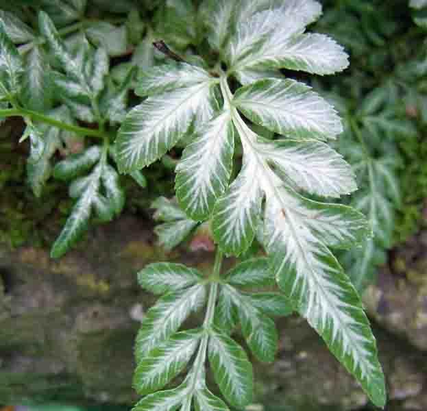 Pteris ensiformis cv. Victoriae