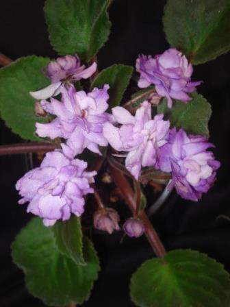 African Violet Tribute to Bill