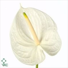 Anthurium White King