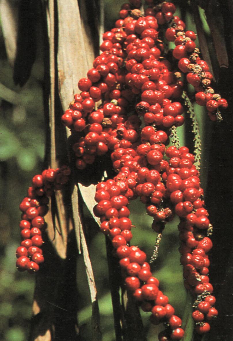 Cordyline petiolaris