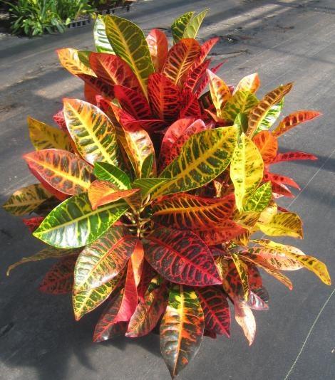 Codiaeum variegatum 'Norma'
