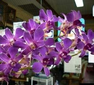 Dendrobium Bubblegum