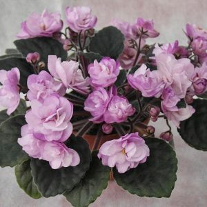 African Violet Ness Satin Rose