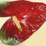 Anthurium African King