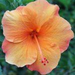 Hibiscus 'Ritzy'