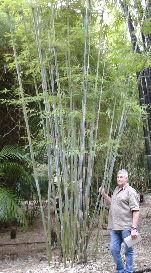Bambusa chungii,Barbellata