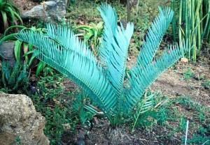 encephalartos, nubimontanus
