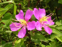 Melastoma affine 'Purple'