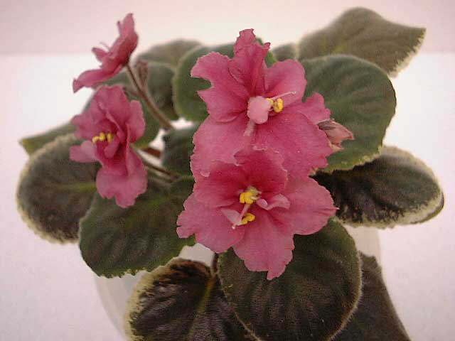 African Violet Ness Orange Pekoe