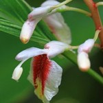 Alpinia formosana flower